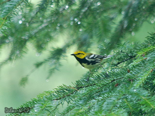 794 Black-throated Green Warbler
