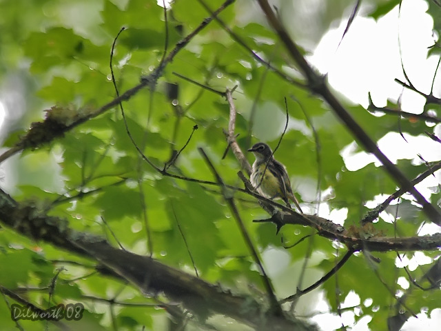 795 Blue-headed Vireo