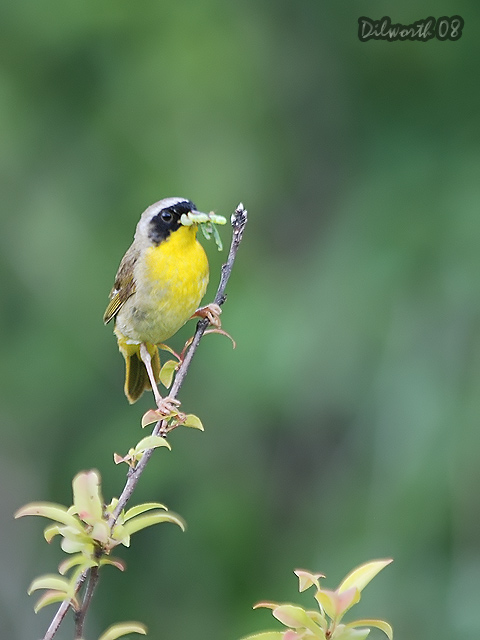 v796 Common Yellowthroat
