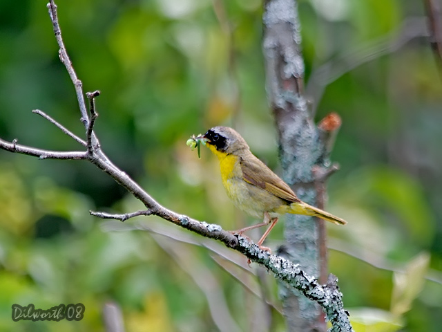 796m Common Yellowthroat