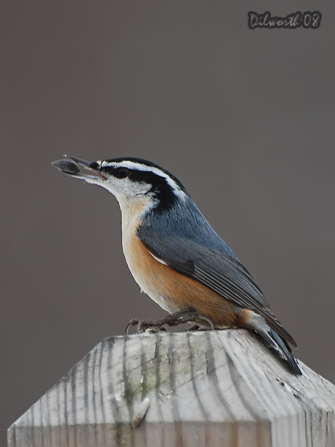 v808m2 Red-breasted Nuthatch