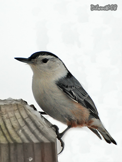 v809 White-breasted Nuthatch