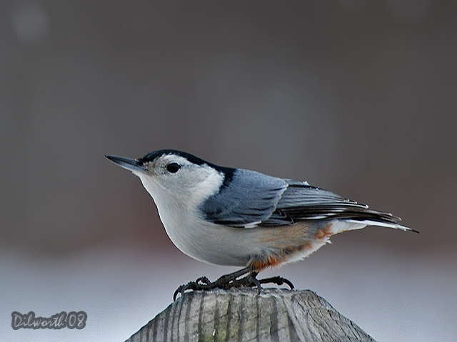 809m White-breasted Nuthatch