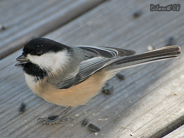 811 Black-capped Chickadee