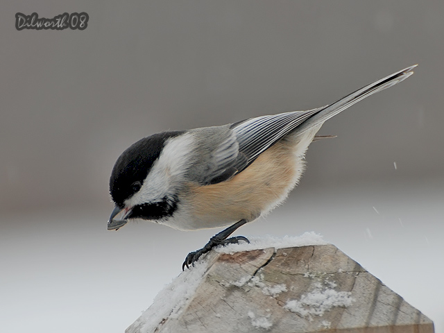 811m Black-capped Chickadee
