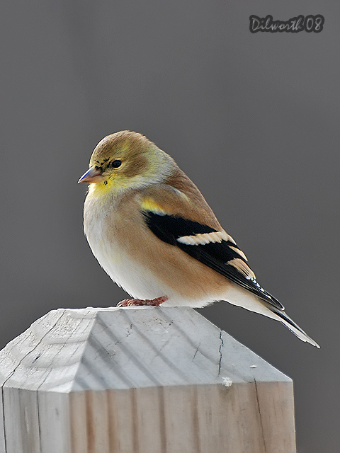 v812 American Goldfinch