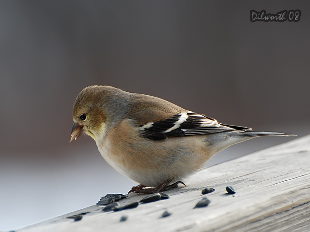 812m1 American Goldfinch