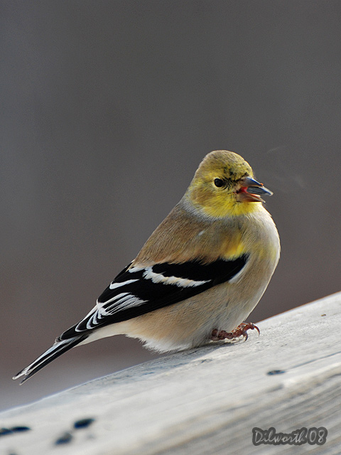 v812m2 American Goldfinch