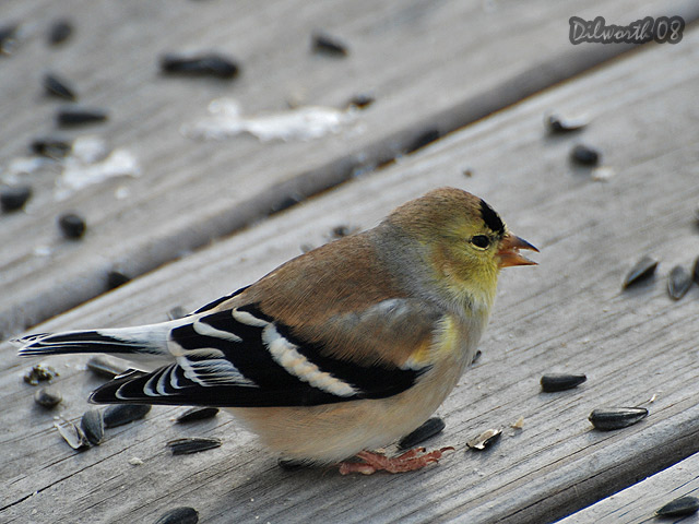 812m3 American Goldfinch