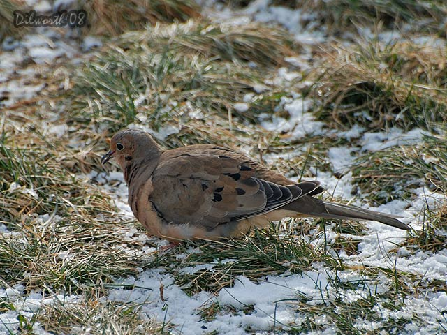 813 Mourning Dove