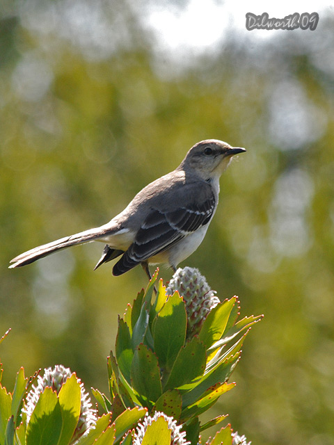 v815 Northern Mockingbird