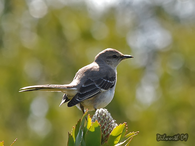 815m Northern Mockingbird