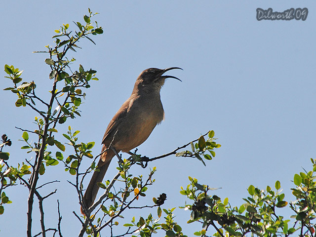 819 California Thrasher