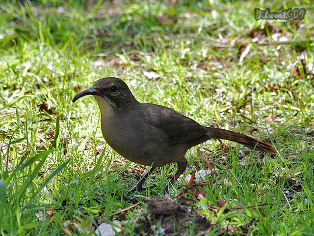820 California Thrasher