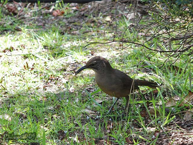 820m California Thrasher