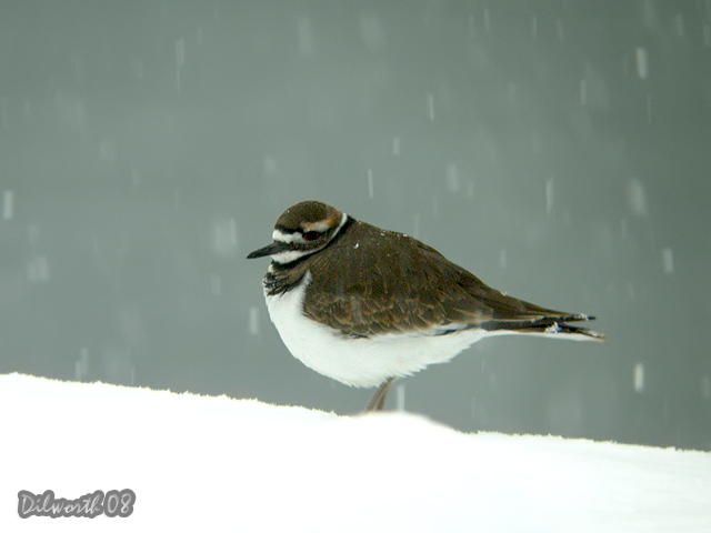 836 Killdeer