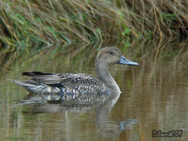 839 Northern Pintail