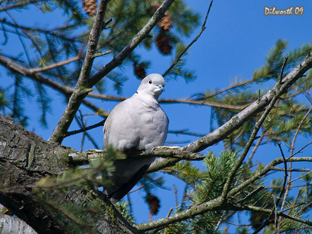 842 Eurasian Collared-Dove