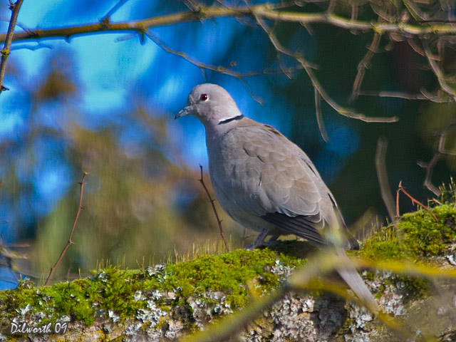 842m2 Eurasian Collared-Dove