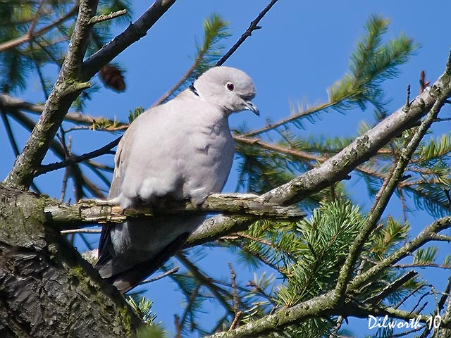 842m Eurasian Collared-Dove