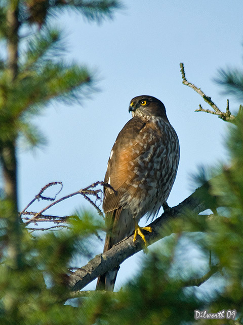 v845 Sharp-shinned Hawk