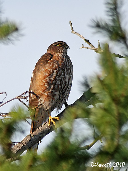 v845m Sharp-shinned Hawk