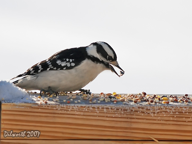 601m1 Downy Woodpecker