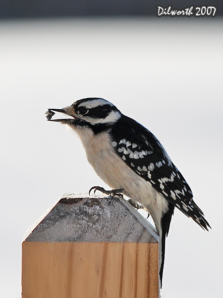 v601m2 Downy Woodpecker