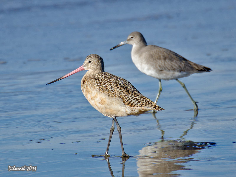 1011 Marbled Godwit & Willet