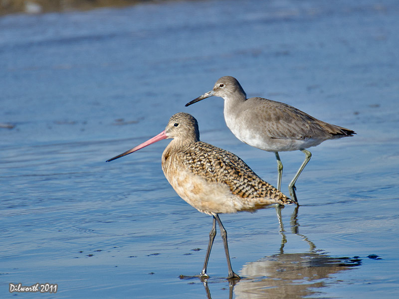 1011m Marbled Godwit & Willet