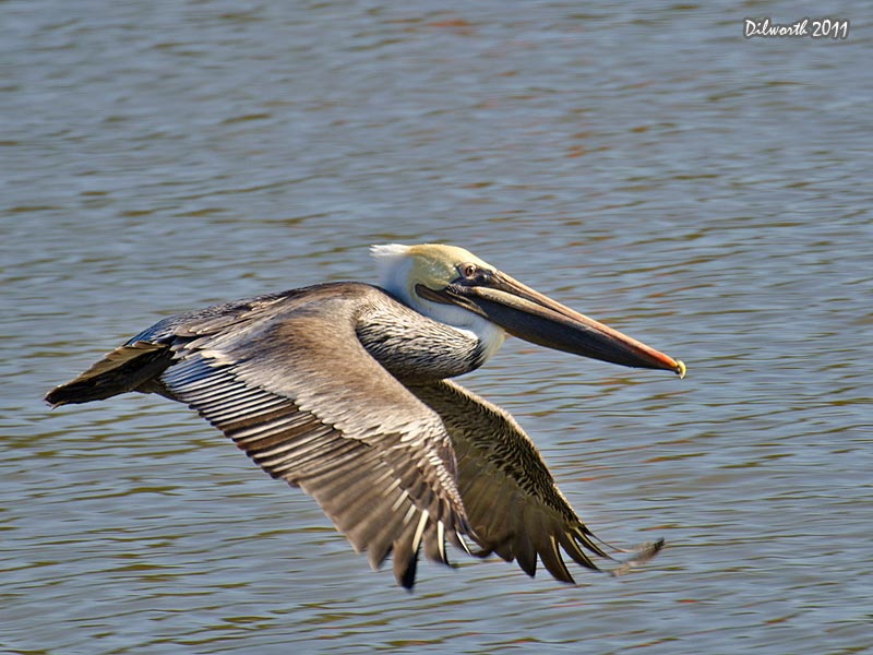 1013m1 Brown Pelican