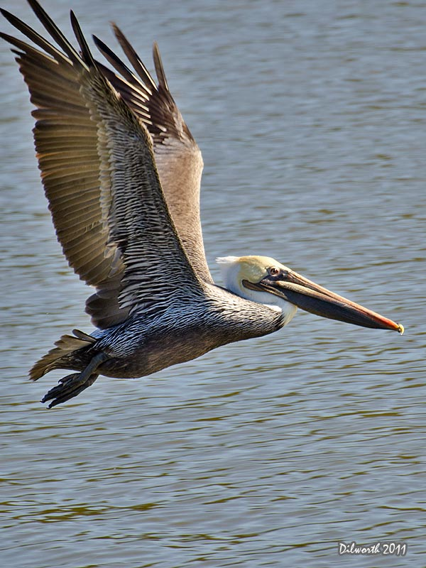 v1013m2 Brown Pelican