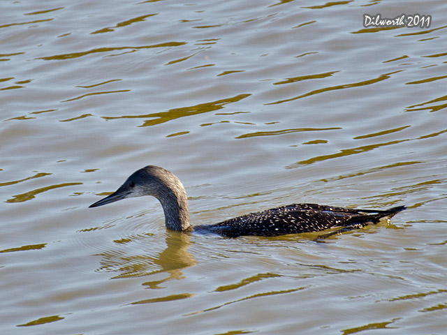 1014 Common Loon
