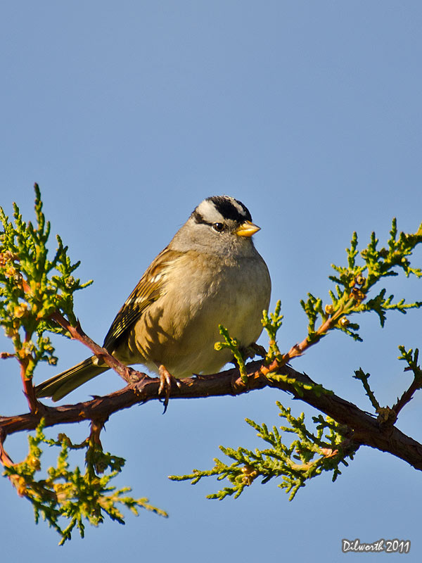v1015 White-crowned Sparrow