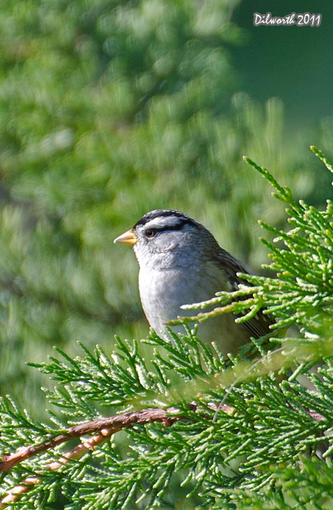 v1015m White-crowned Sparrow