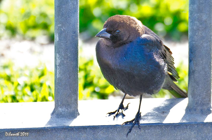 1021 Brown-headed Cowbird