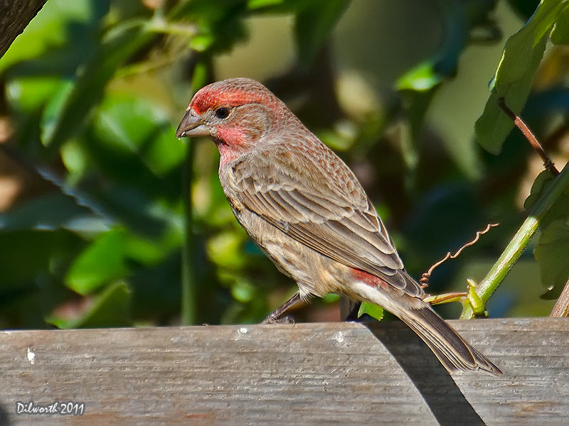 1022m3 House Finch