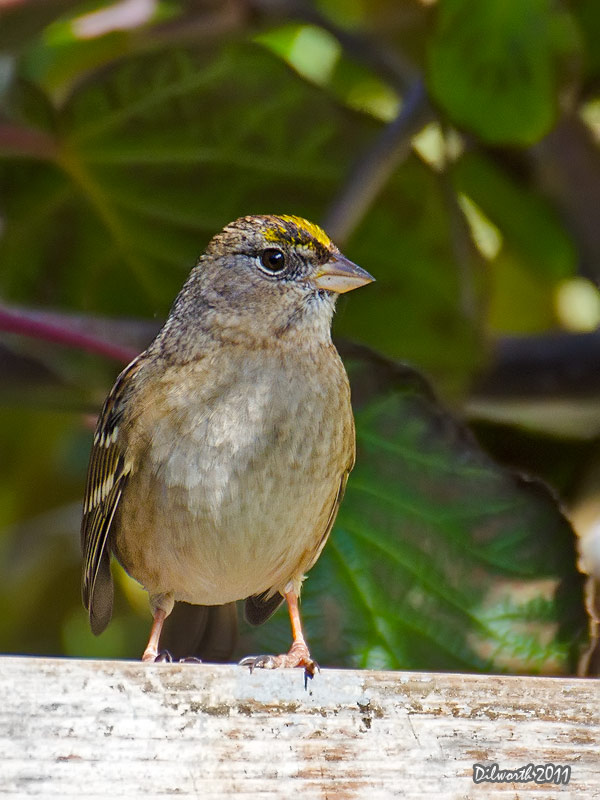 v1023 Golden-crowned Sparrow
