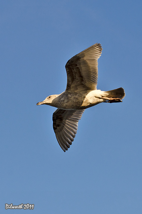 v1024m2 Glaucous-winged Gull
