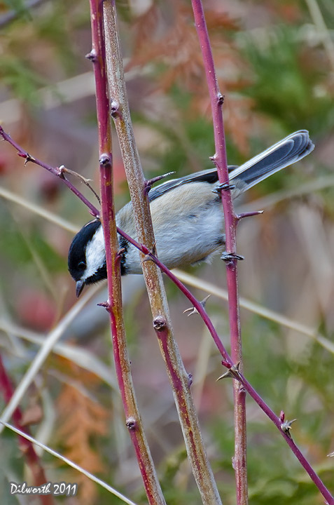 v1026 Black-capped Chickadee