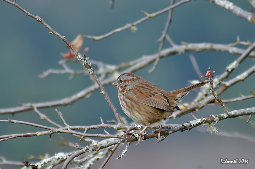 1027m1 Song Sparrow