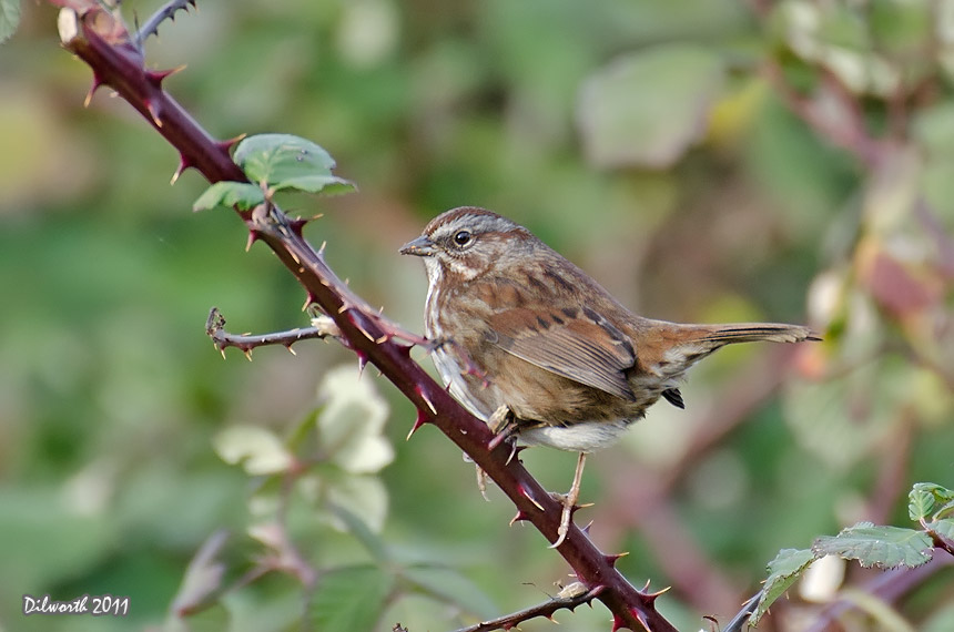 1027m2 Song Sparrow