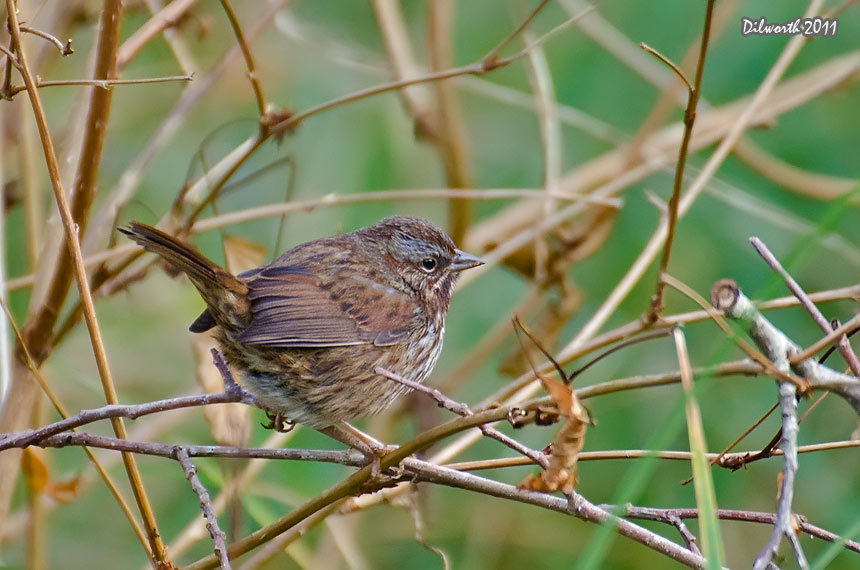1027m3 Song Sparrow