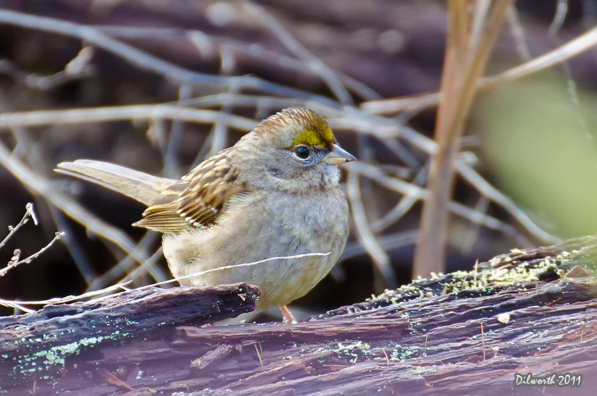 1029m1 Golden-crowned Sparrow