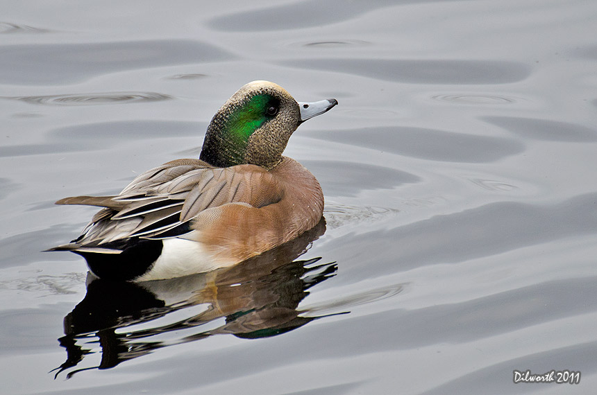 1030m2 American Wigeon