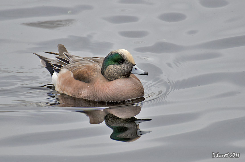 1031m2 American Wigeon