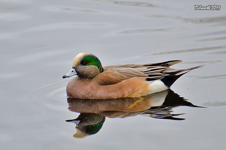 1031m4 American Wigeon