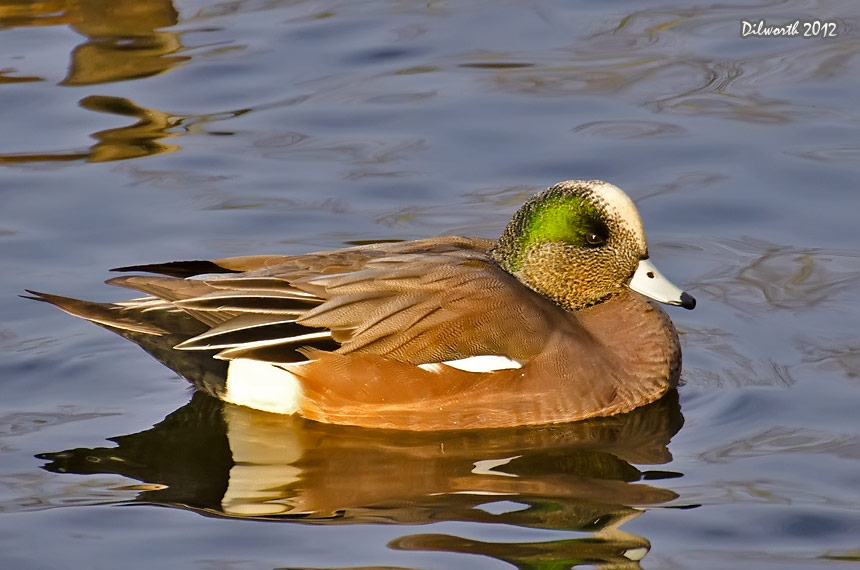 1036m1 American Wigeon