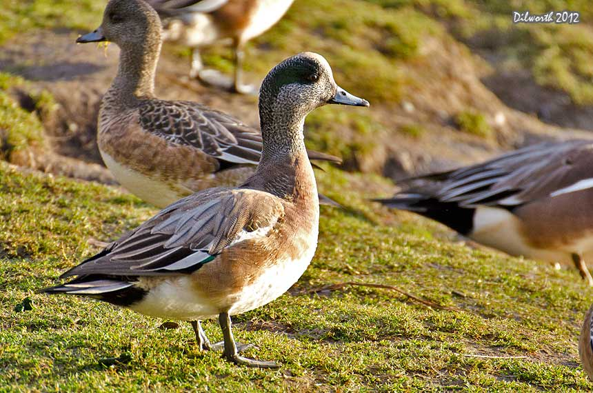 1036m2 American Wigeon