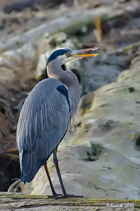 v1041 Great Blue Heron